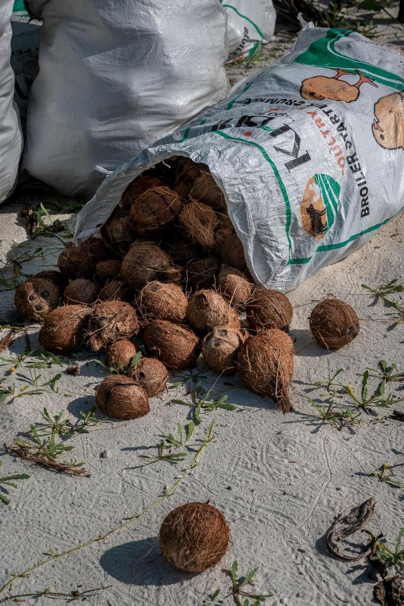 Coconuts, Bangaram, Lakshadweep, India.