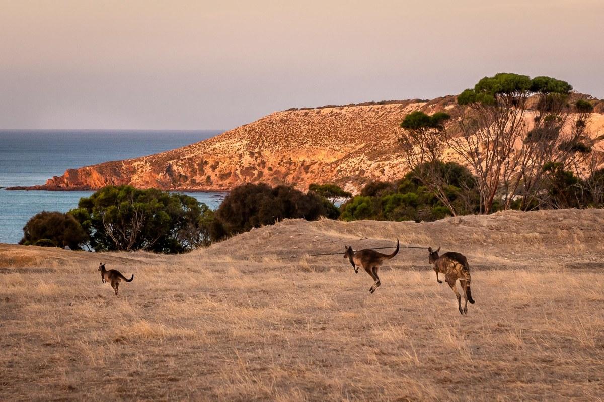 Kangaroos, Stokes Bay, Kangaroo Island, Australia.
