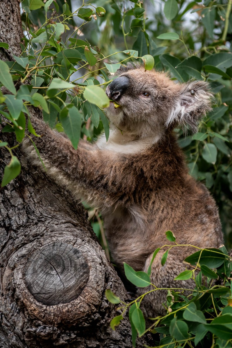 Koala, Kangaroo Island, Australia.
