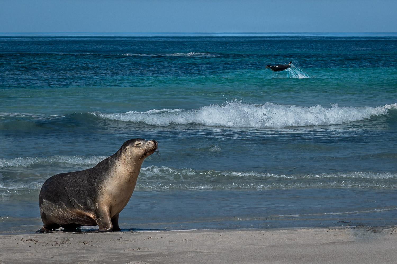 Sea lions, Kangaroo Island, Australia.