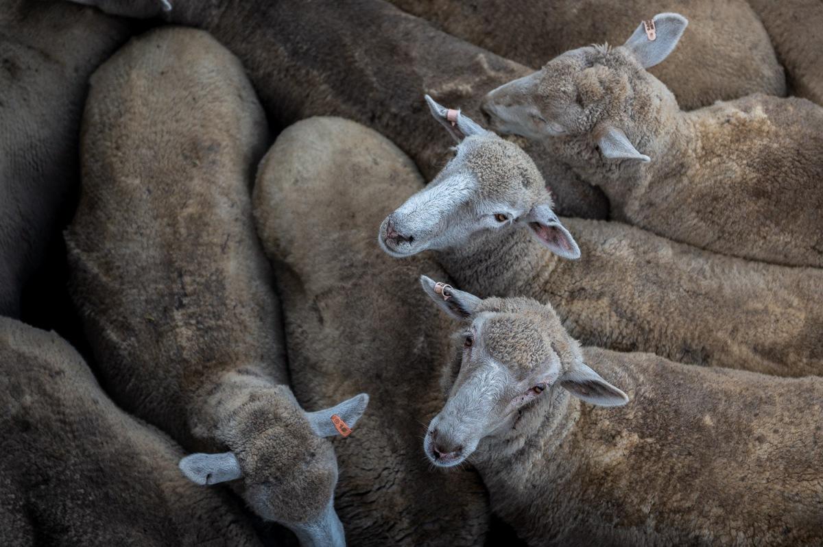 Sheeps shipping, Kangaroo Island, Australia.