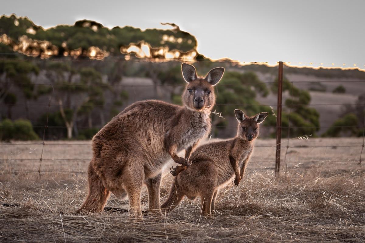 Kangaroo, Stokes Bay, Kangaroo Island, Australia.