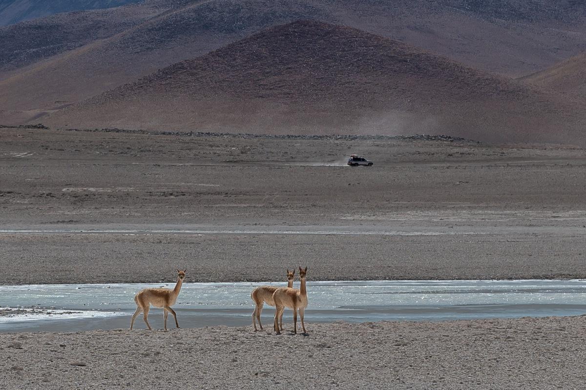 Llamas crossing a river, Eduardo Avaroa National Reserve, Bolivia.