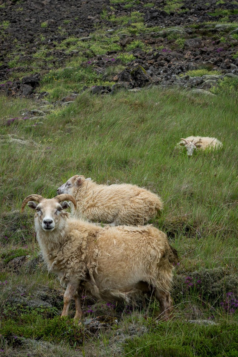 Sheeps gracing, Hveragerdi, Iceland.
