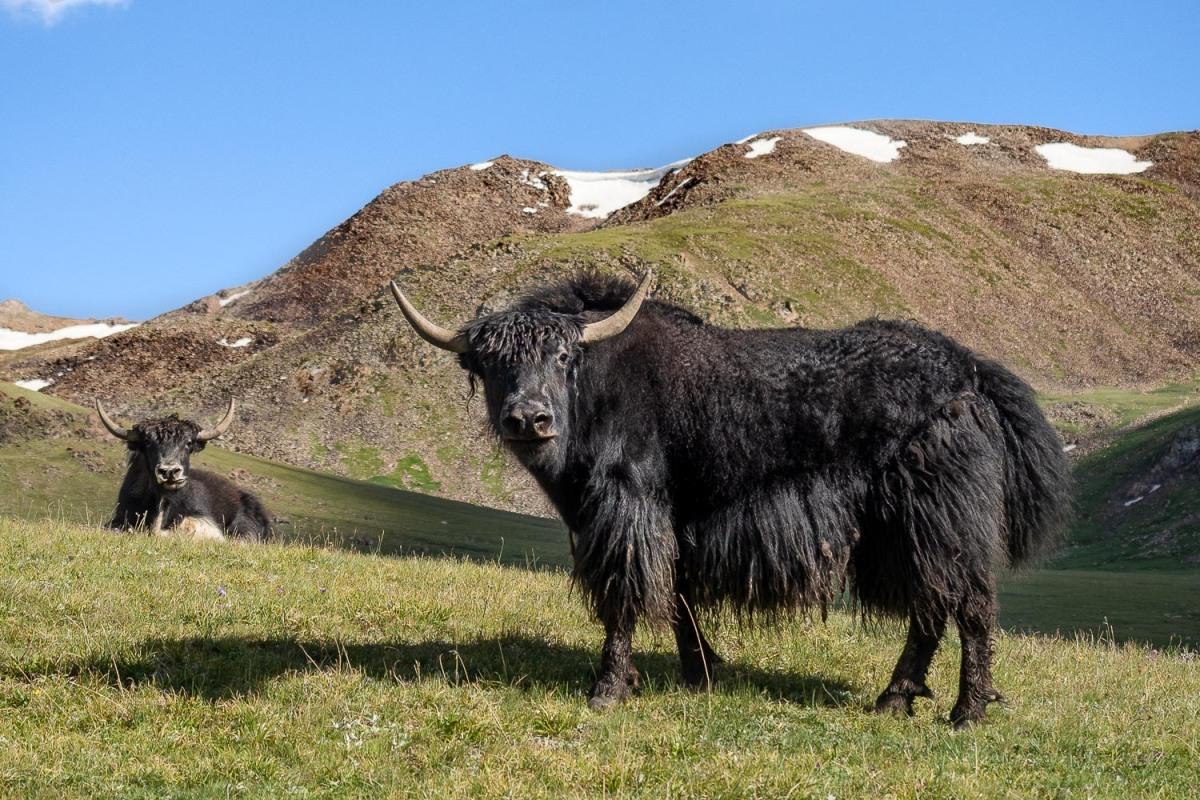 Musk oxen, Tian Shan, Kyrgyzstan.