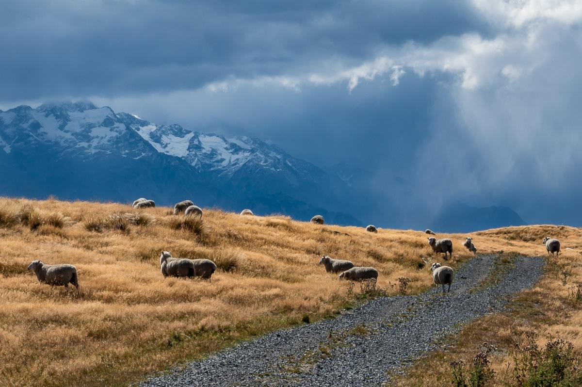 Sheeps grazing, Canterbury, New Zealand.