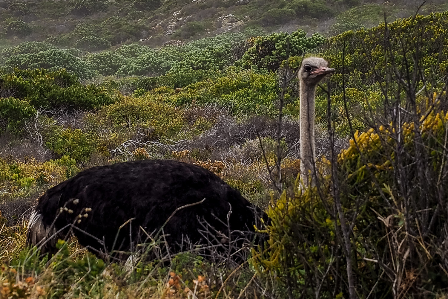 A road side ostrich, Cape Peninsula, South Africa.