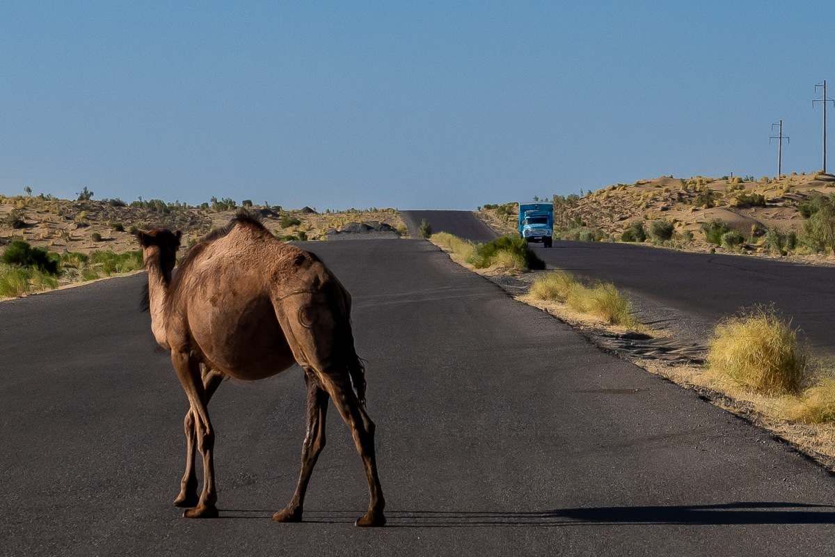 Camel crossing the only road in the desert, Karakum Desert, Turkmenistan.