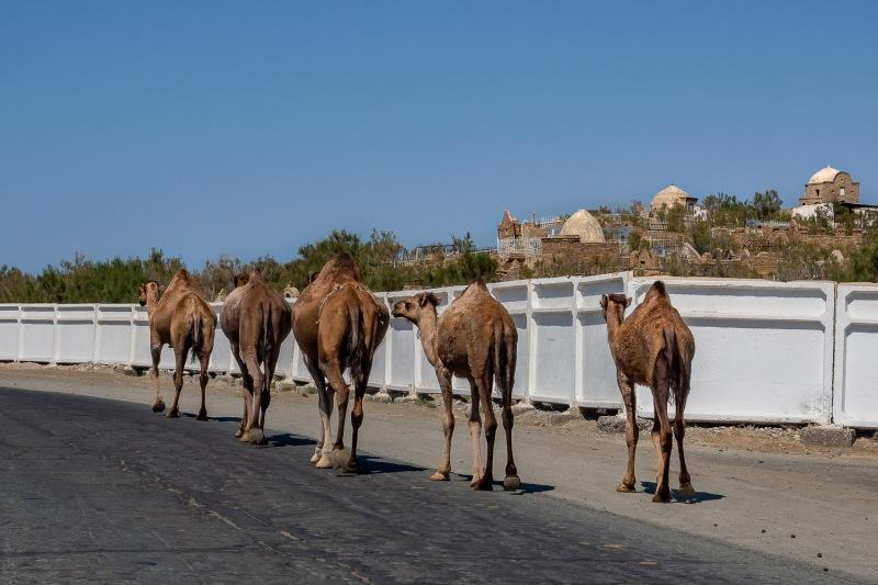 Camels on the road, Karakalpakstan, Uzbekistan.